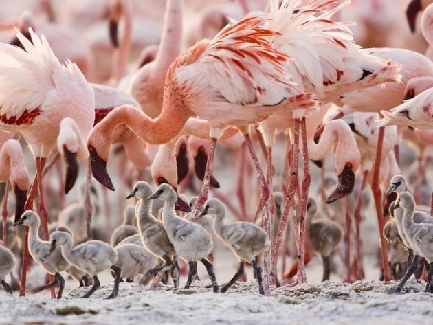 A group of young flamingos wobble their way through the shore.