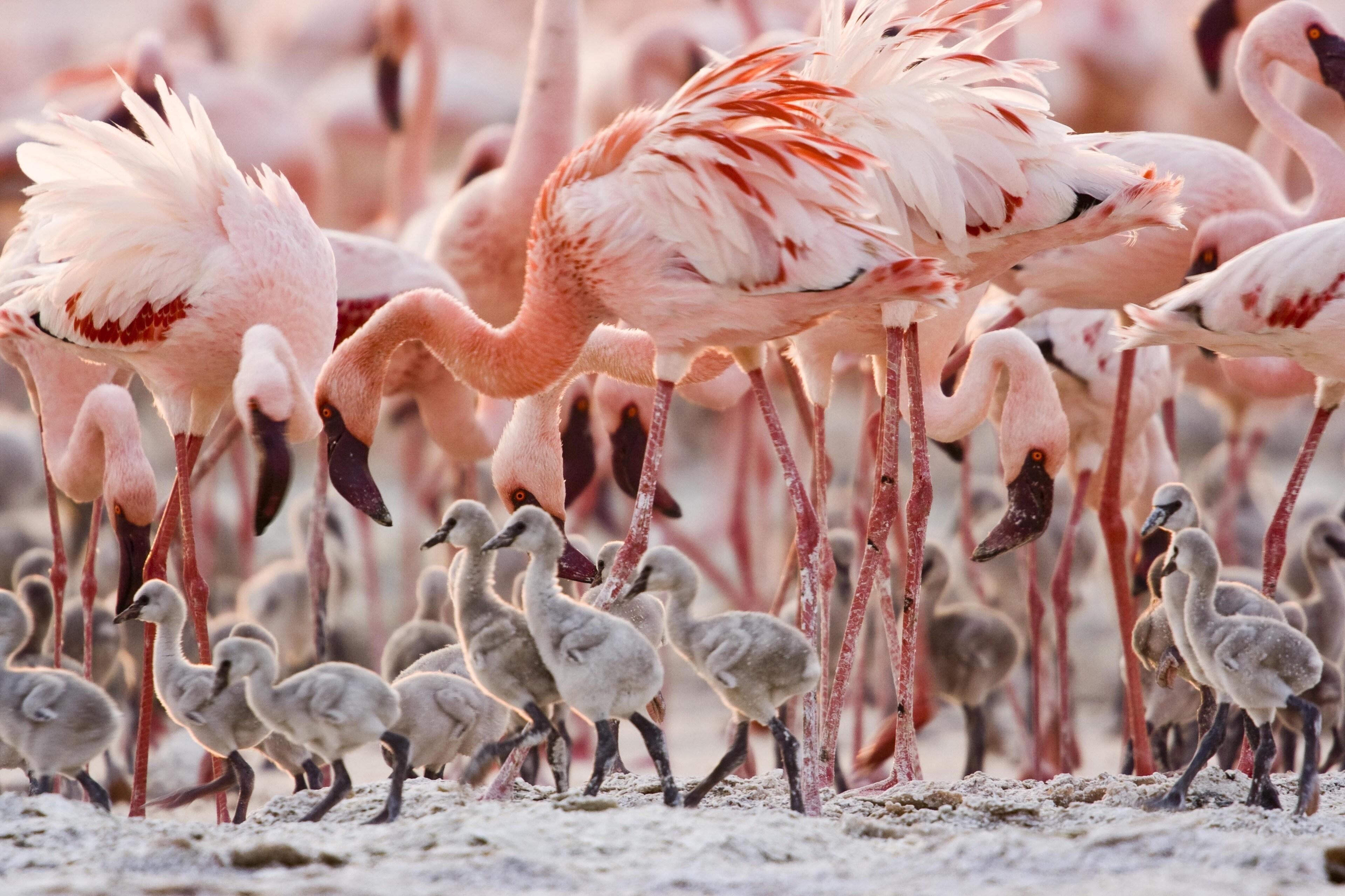 A group of young flamingos wobble their way through the shore.