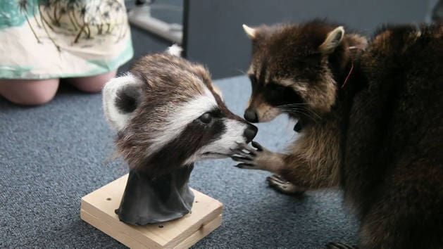 Oreo the Raccoon - Intergalactic Visual Effects - Guardians of the Galaxy