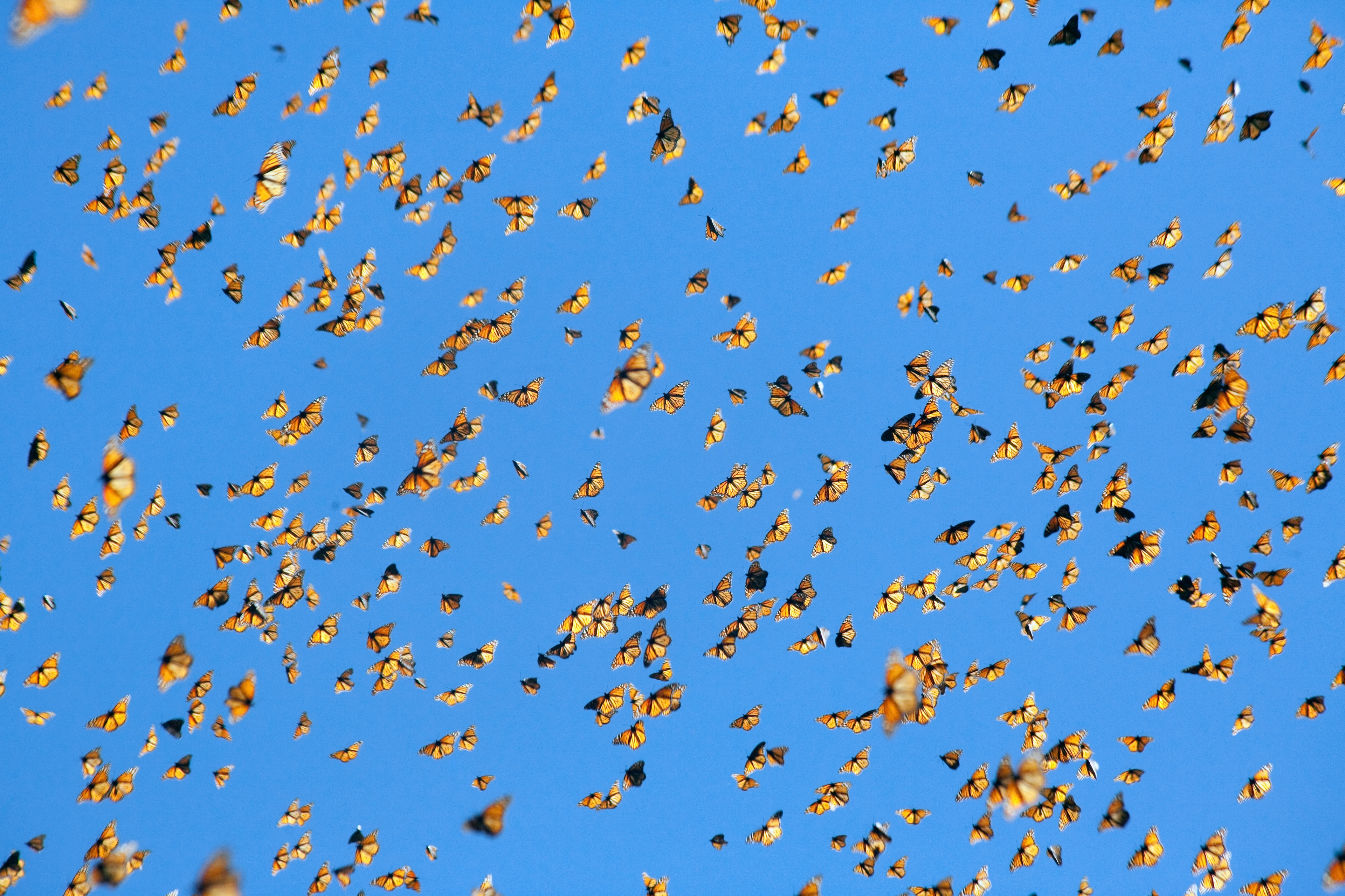 Traveling together through the bright blue sky, Monarch butterflies undergo a massive migration e...