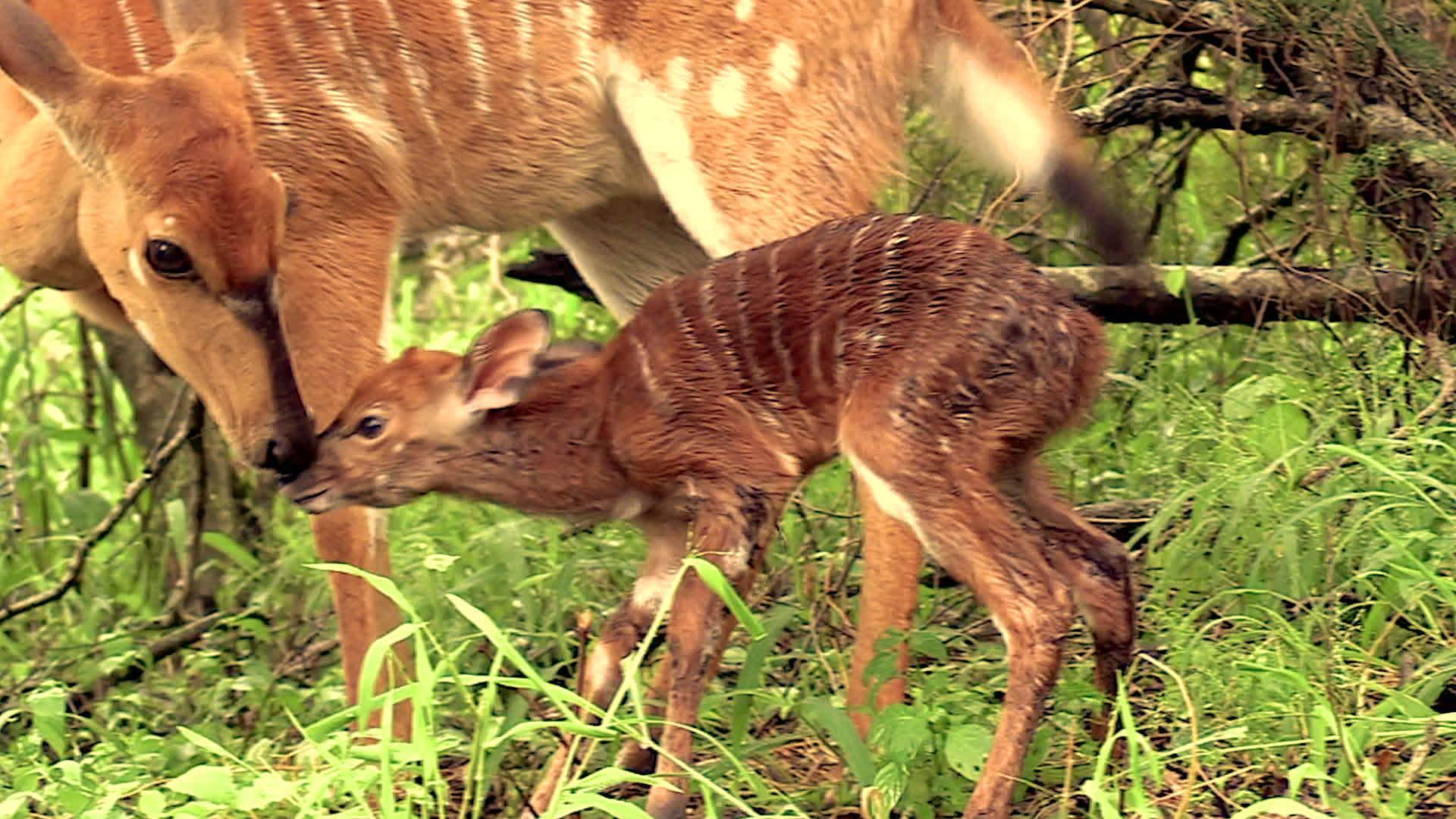 Baby Nyalas