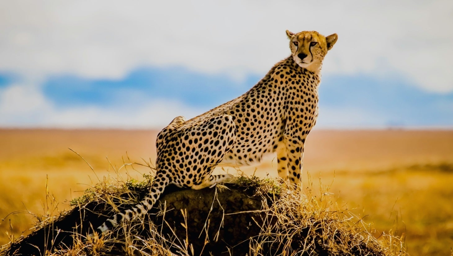 Leopardo scruta l'orizzonte