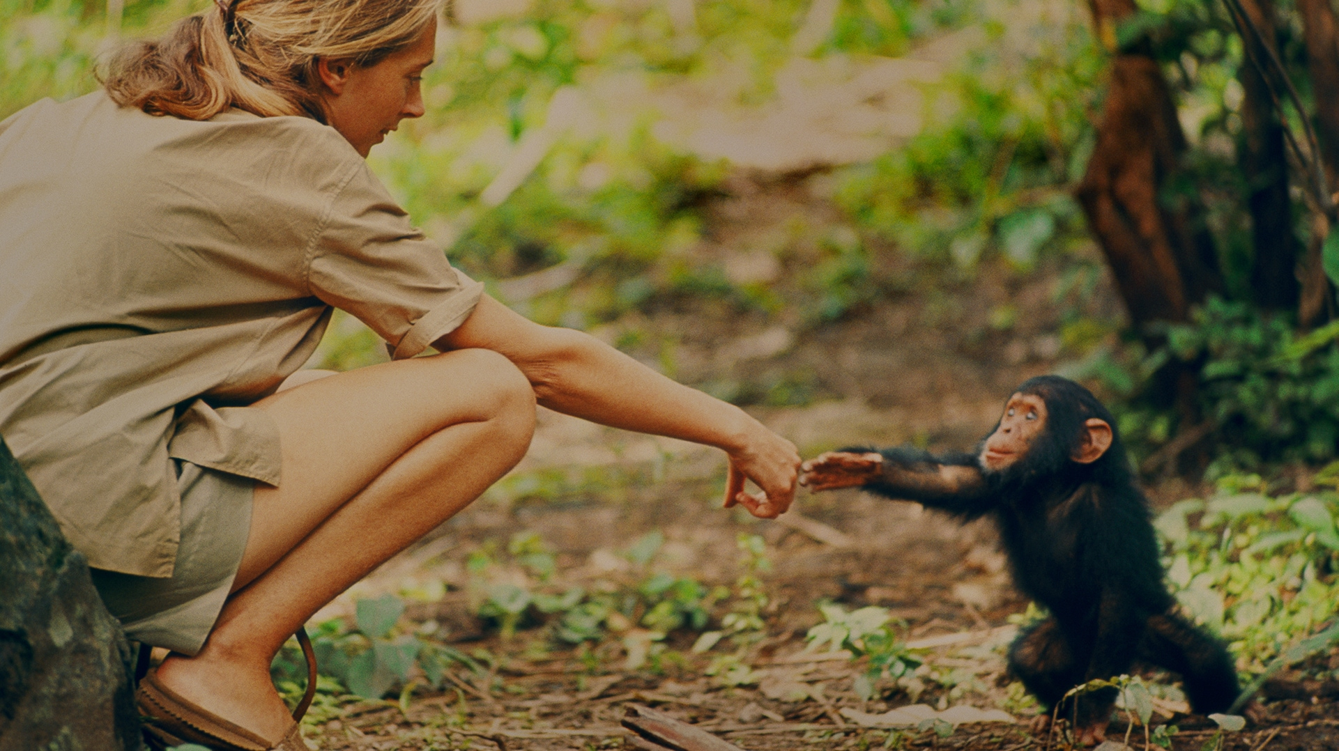 Jane Goodall and infant chimpanzee Flint reach out to touch each other's hands. Flint was the first infant born at Gombe after Jane arrived. With him she had a great opportunity to study chimp development—and to have physical contact, which is no longer deemed appropriate with chimps in the wild. (National Geographic Creative/ Hugo Van Lawick)