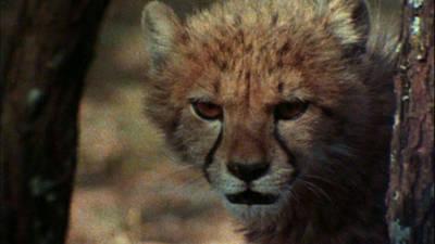 Cheetah Trailer