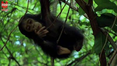 Chimpanzee Family Hang Out