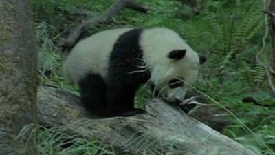 Trail of the Panda Trailer