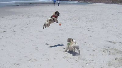 Minnie the Flying Pug