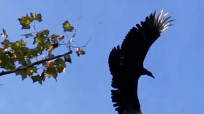 Black Vulture Bird Taking Flight in Slow Motion