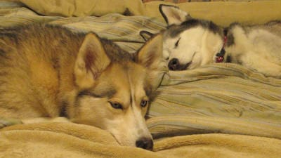Relaxing Husky Time