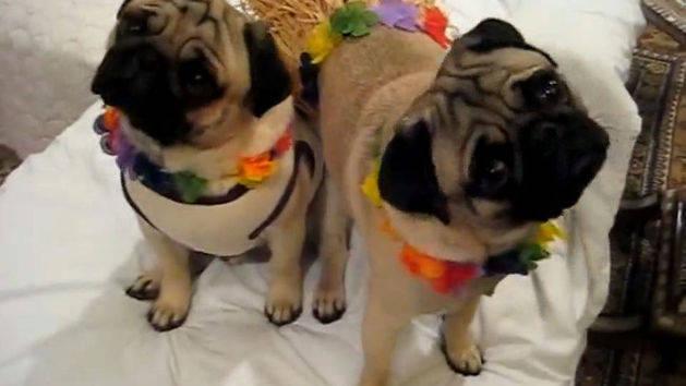pug hawaiian halloween - Pugs Halloween