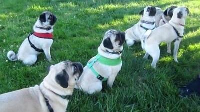 Seven Playful Park Pugs