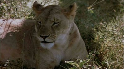 The African Lion Trailer