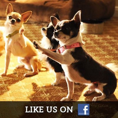 Beverly Hills Chihuahua on Facebook