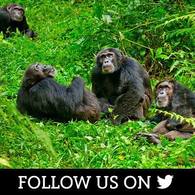 Chimpanzee on Twitter