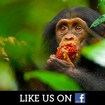 Chimpanzee on Facebok