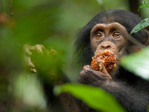 Chimpanzee Galerij