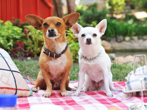 Beverly Hills Chihuahua Gallery