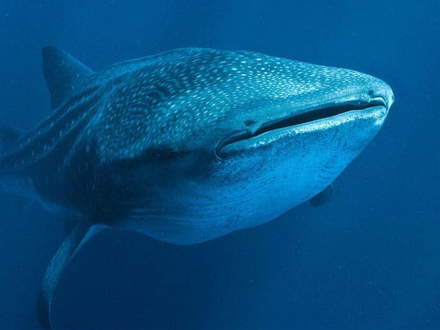 A whale shark's spots catch the light above the water.