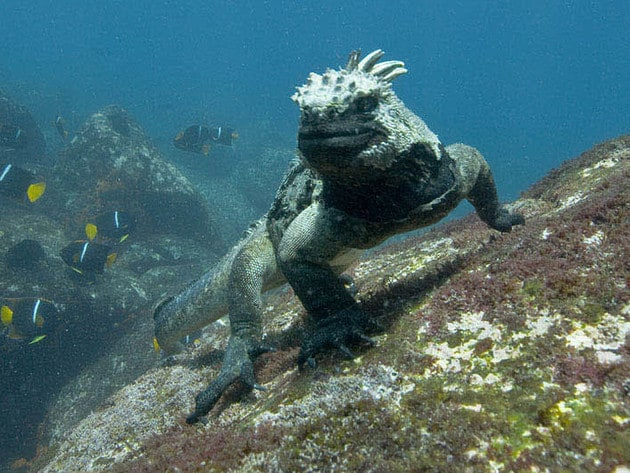 This marine iguana stands watch on a rock.