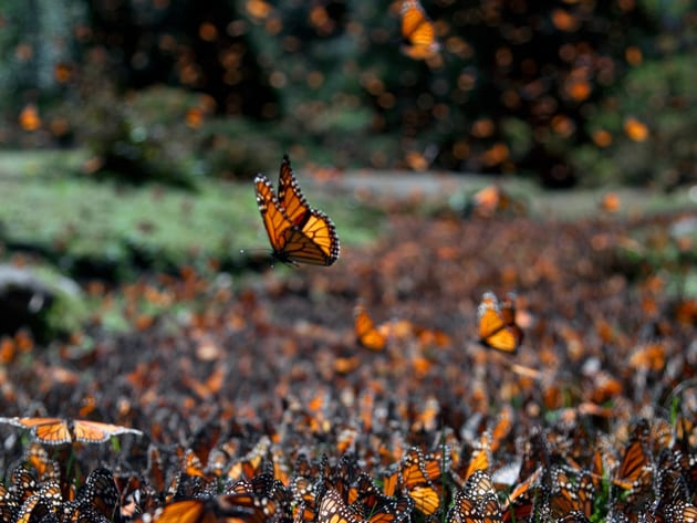 Thousands of monarch butterflies flutter around looking for the perfect spot to quench their thir...