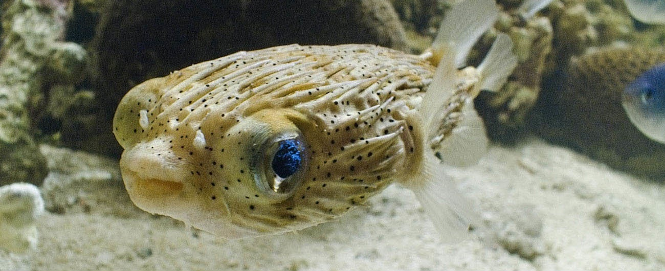This porcupine fish has spotted our camera man.