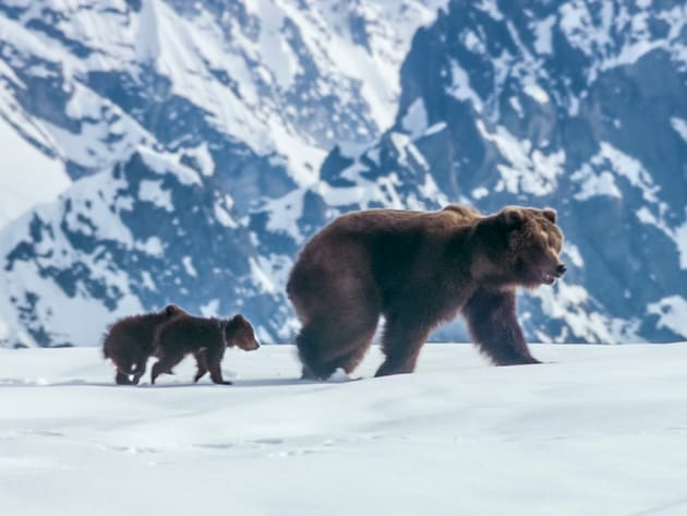 Set against a majestic Alaskan backdrop teeming with life, the bear family's journey begins as wi...