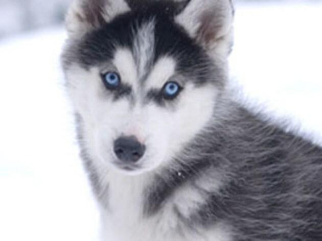 Shasta shows off his pretty blue eyes.