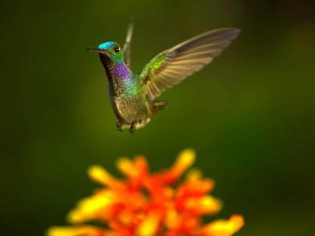 A male blue-chested hummingbird flies elegantly through the air.