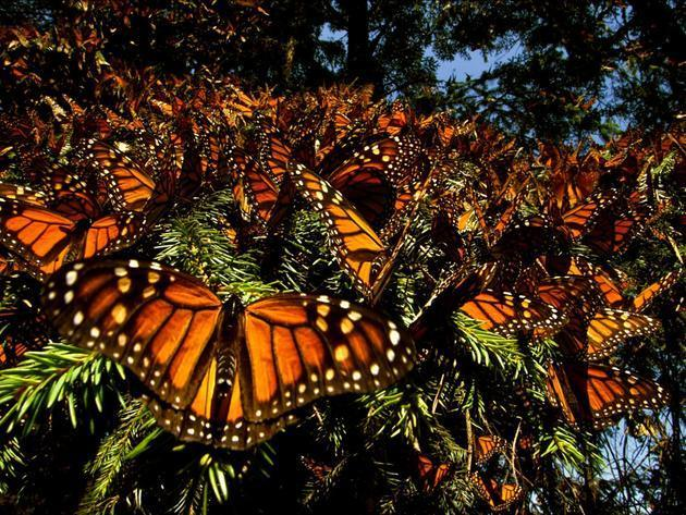 Hundreds of monarch butterflies retreat to a shady tree at the end of their migration in El Rosar...