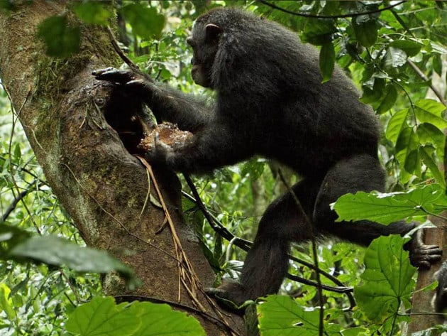 Chimpanzees spend a great deal of their time exploring the world around them, sometimes from high...