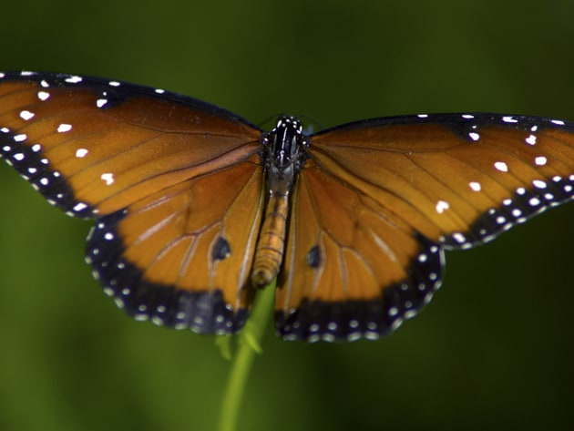 An up-close look at a male Queen butterfly (a monarch relative) reveals the beauty and intricate ...