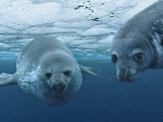 Two weddel seals take a look at our camera man.