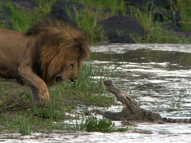 The river is an important source of food for the River Pride, but also carries the threat of croc...