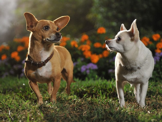 beverly chihuahua beverly hills chihuahua gallery disney movies 9666