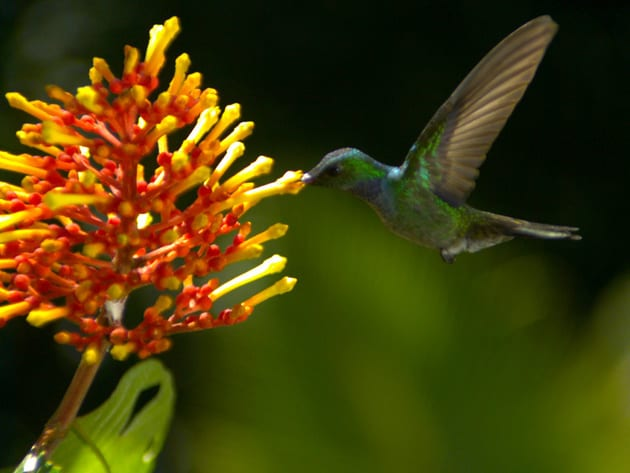 A male blue­-chested hummingbird finds a budding Rubiaceae blossom to gracefully drink nectar from.