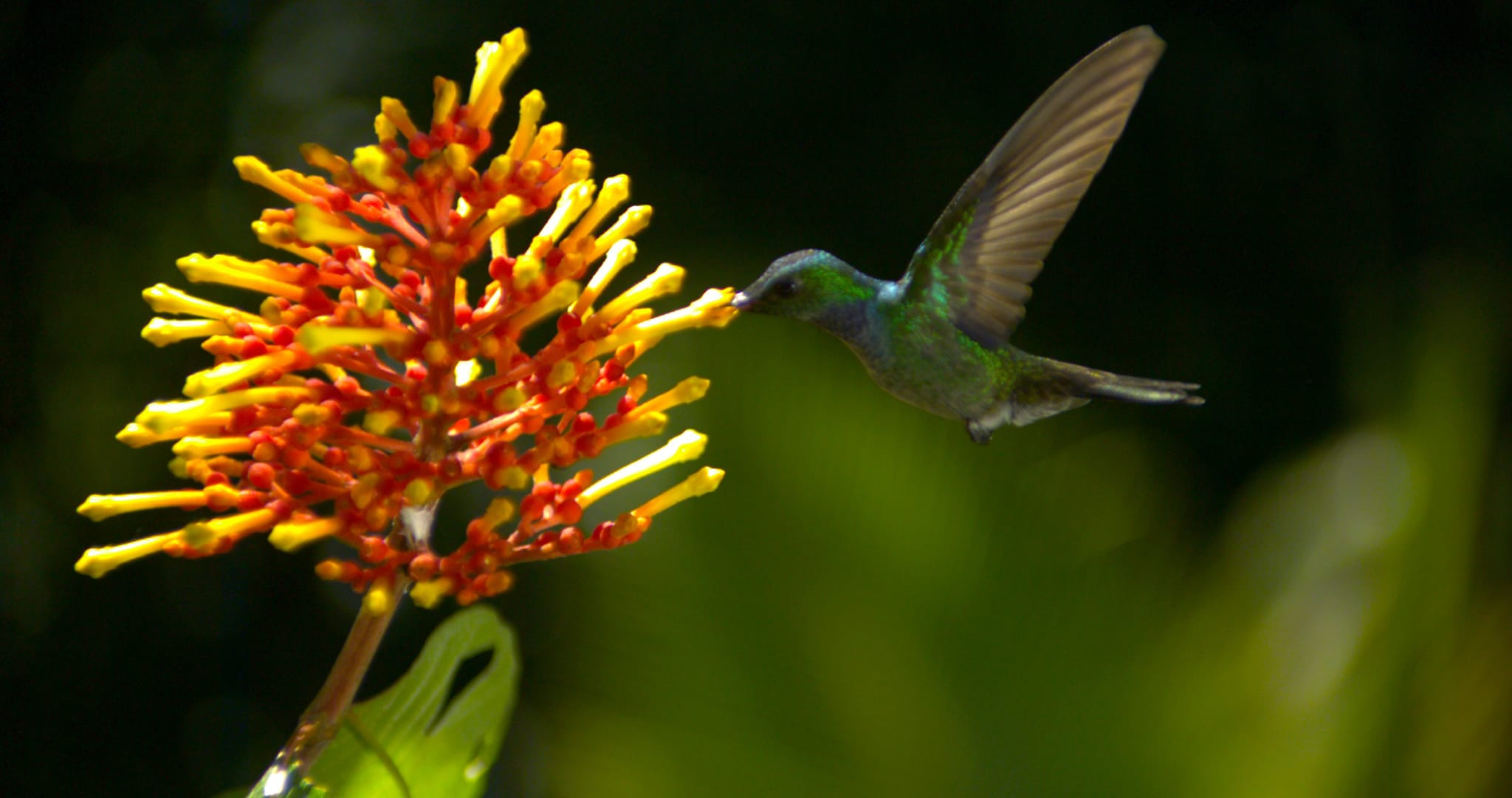 A male blue-chested hummingbird finds a budding Rubiaceae blossom to gracefully drink nectar from.