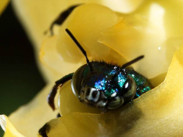 This orchid bee pokes his head through the petals of a bucket orchid revealing himself to the bri...