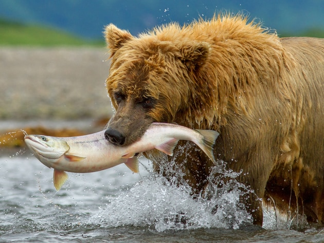 As the season changes from spring to summer, the brown bears must work hard to find food—ultimate...