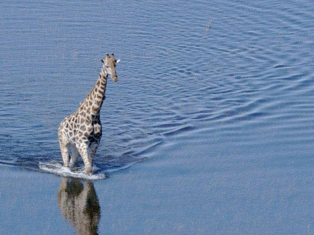 A giraffe wanders through the flooded landscape of the delta in Botswana.