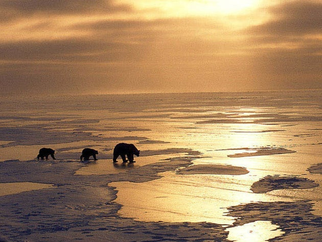 A polar bear mother and two of her cubs set out across the icy sea at sunset.
