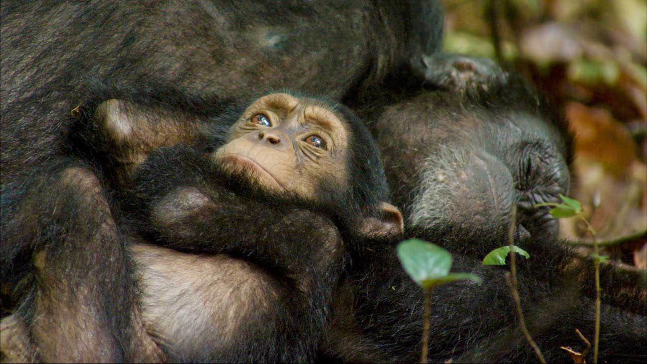 Meet Oscar, a baby chimp whose playful curiosity and zest for discovery light up the African forest.