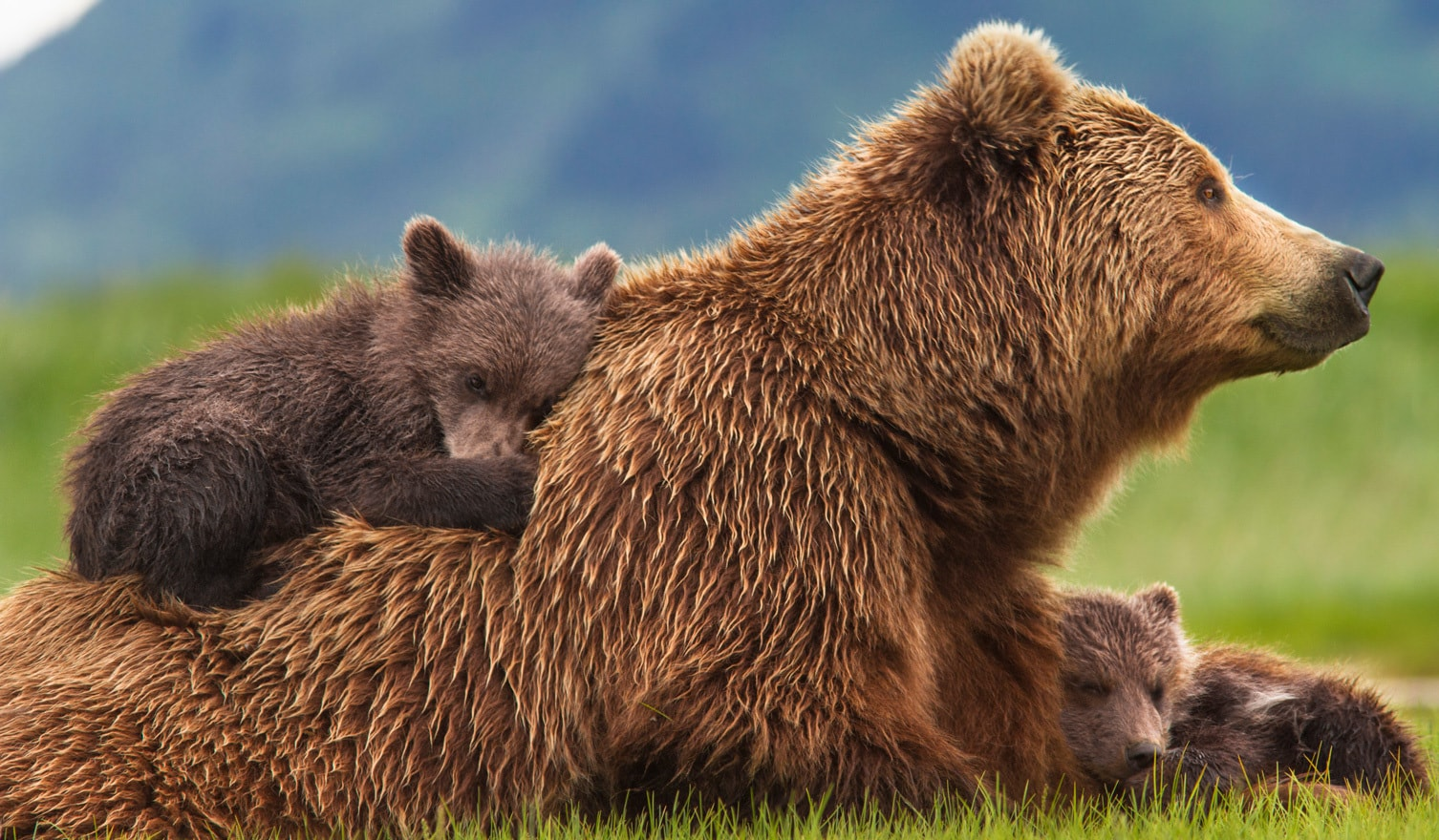 BEARS tells the story of a mother, Sky, teaching her young cubs, Amber and Scout, valuable life l...