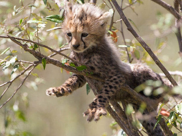 Cheetahs use their climbing abilities to lounge in trees on the Savanna, also useful for communic...