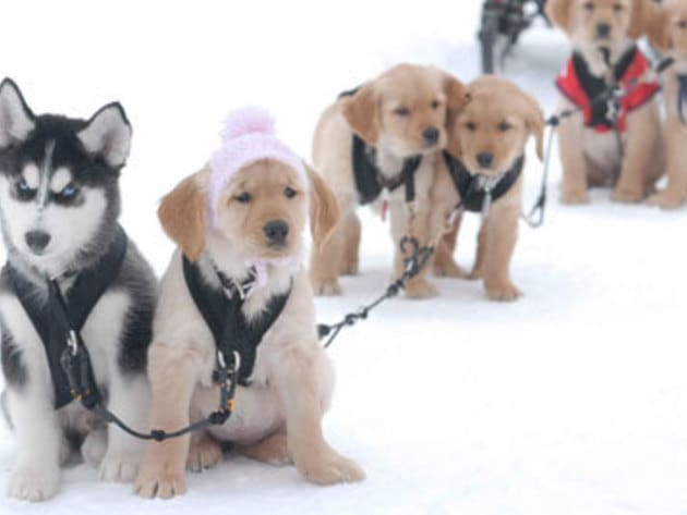 Rosebud helps the gang pull the sled in her pretty pink hat!
