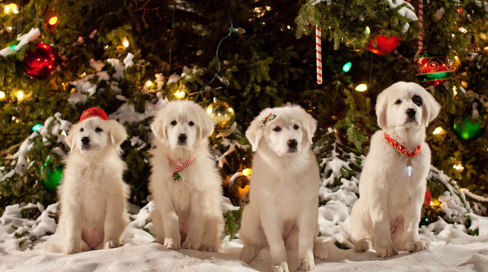 Hope, Jingle, Charity and Noble (puppies) sitting in front of a Christmas tree