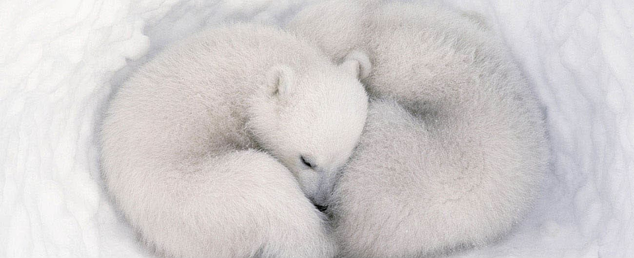Two polar bear cubs curled up during nap time.