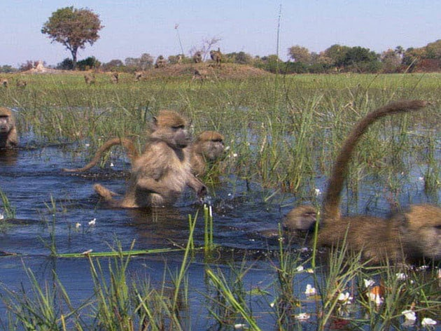 While on their journey, these baboons travel bipedally across this flooded landscape.