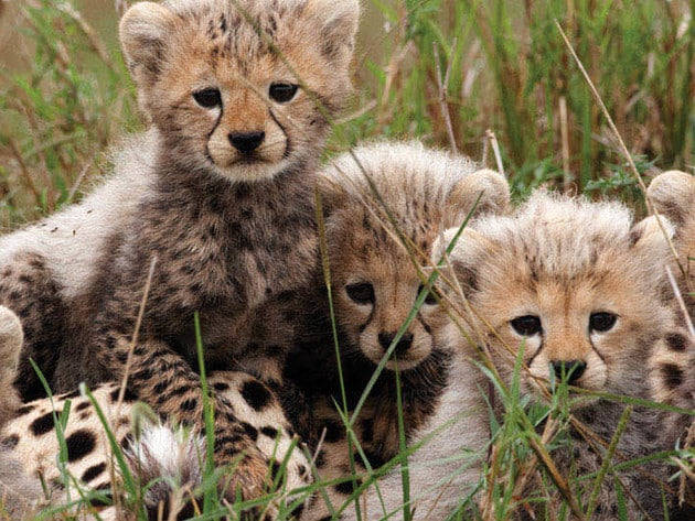 Sita's cubs must learn how to hunt and fight from their mother, as one day they'll be on their ow...