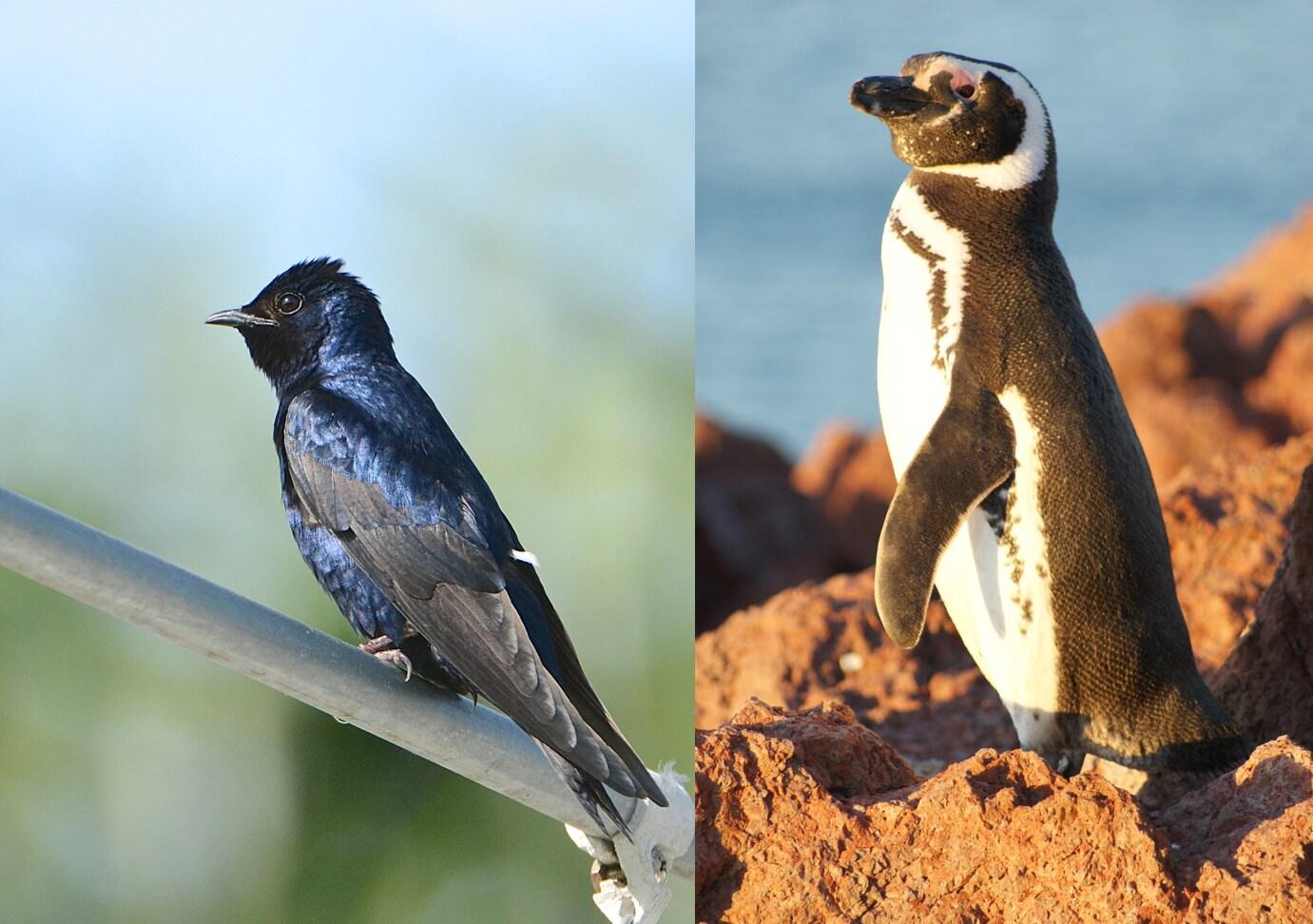 Pingüino y Blue Purple