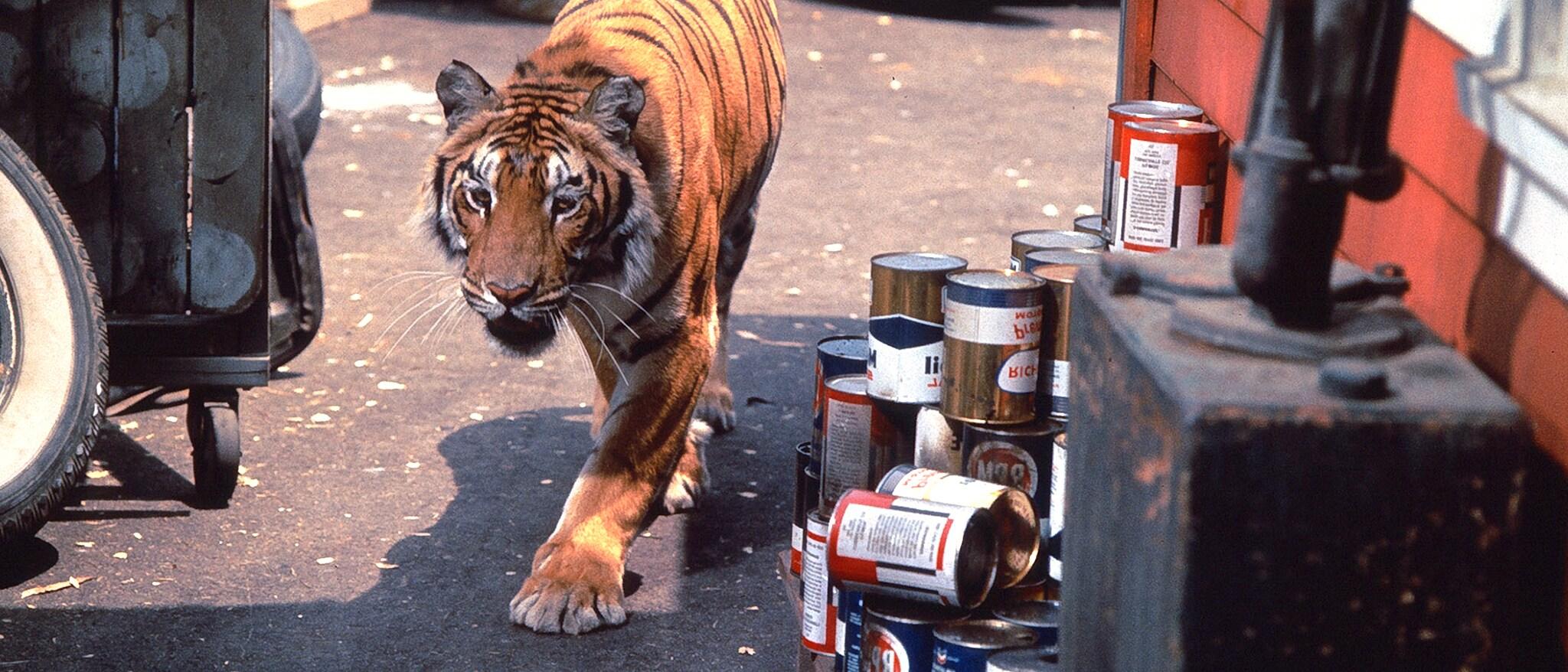 A Tiger Walks Hero